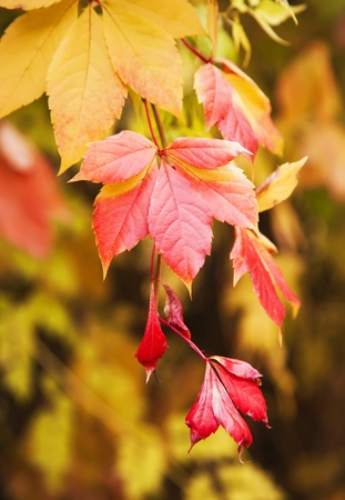 Red and yellow autumn leaves background photo