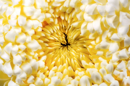 Yellow chrysanthemum autumn flower  Stock Photo