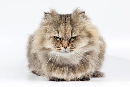Angry persian cat golden chinchilla on white background