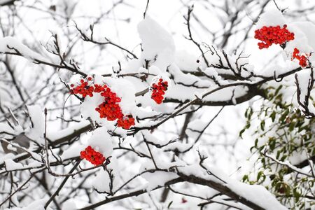 Branch of red ashberry in winter under snow
