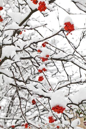 Winter ashberry branches under snow