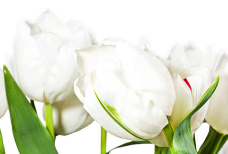 Spring white tulips isolated on white background Stock Photo