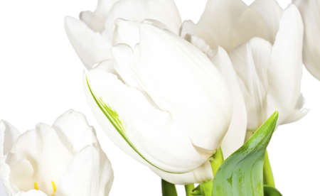 White tulips isolated on white background
