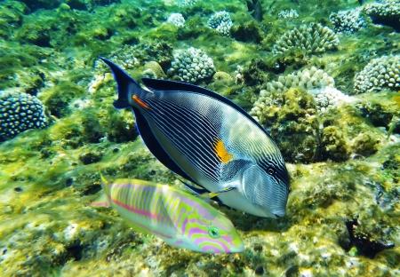 sohal: Arabian surgeonfish and klunzingers wrasse fish underwater Stock Photo
