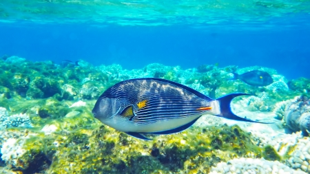 surgeonfish: Arabian surgeonfish underwater deep red sea