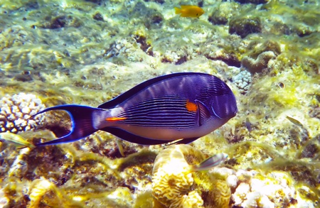 surgeonfish: Beautiful arabian surgeonfish underwater deep red sea