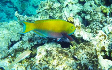surgeon fish: Azul tang peces cirujano submarino en el mar rojo Foto de archivo