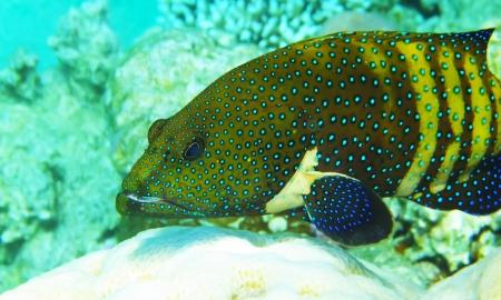 mimic: Mimic Roundhead underwater red sea