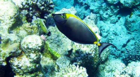 unicorn fish: Orangespine unicorn fish underwater red sea