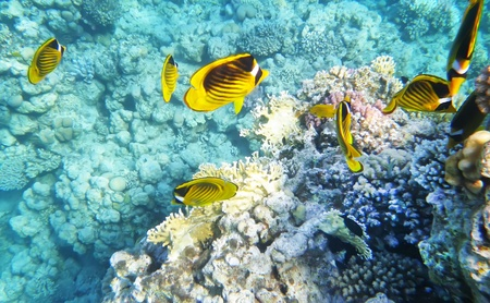 Racoon butterfly fish underwater coral reef