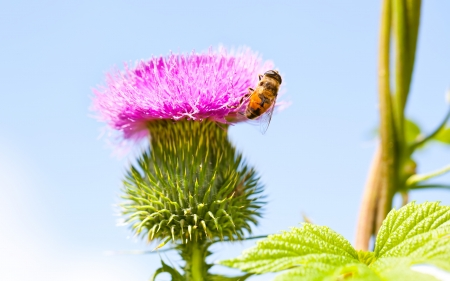 Wild thistle with pink flower and bee on blue background photo