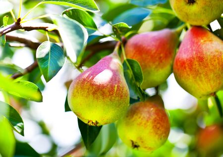 Beautiful pears on branch in summer Stock Photo