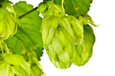 Branch of fresh green hop on white background photo