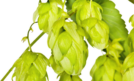 Branch of fresh green hop on white Stock Photo