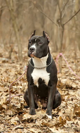 Staffordshire bull terrier sitting in autumn forest close up