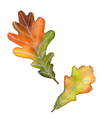 Autumn oak leaves watercolor on white background isolated