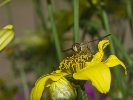 compound eyes: Hoverfly (Syrphidae) on a flower sucking