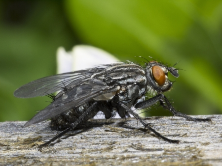compound eyes: Big house fly musca domestica Stock Photo