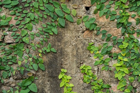 creeping fig: green ivy and stone wall in Garden