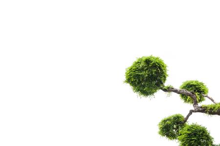 tamarindo: Tamarind tree on white background,green background,bonsai tree on a white background