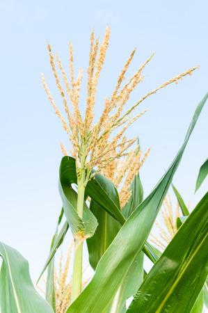 corn flower: Corn flower against blue sky, Raw corn on plant, flower of field corn Stock Photo