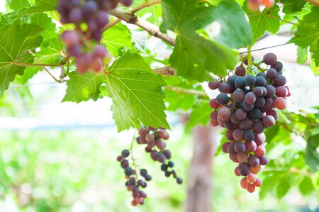 Bunches of wine grapes hanging on the vine with green leaves  in garden Stock Photo
