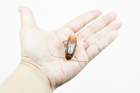 Hand holding brown cockroach over white background,Cockroaches isolate on white background,Cockroaches as carriers of disease Stock Photo