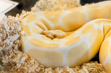 Golden yellow Python snake