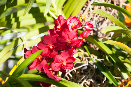 red color orchids flower close up under natural lighting outdoor are orchids blooming in the garden Stock Photo