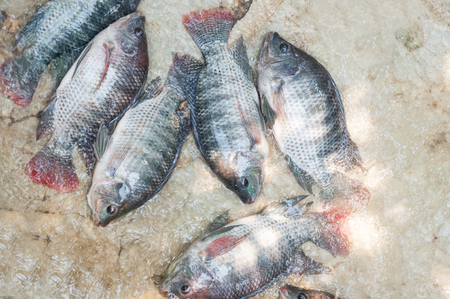 fresh Tilapia  in water Farm,fish in the cage, fish farming in Thailand