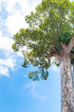 Ancient big tree against blue sky Stock Photo
