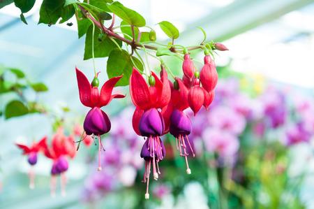 flores fucsia: hermosas flores de color fucsia en el jardín