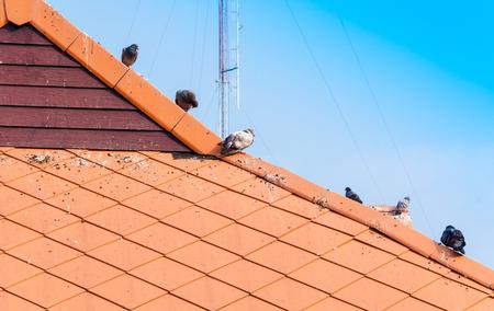 Pigeon walking on dirty roof Фото со стока