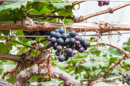 western slope: purple red grapes with green leaves on the vine in the garden . fresh fruits