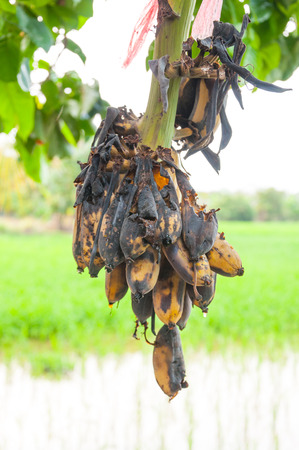 rotten bananas Hanging on the tree