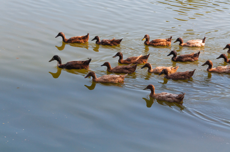 accumulation: Lake with  and ducks in the water,Northern Thailand Stock Photo
