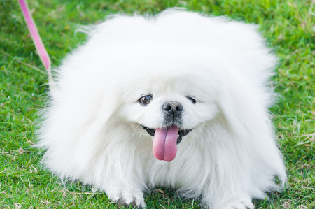 Puppy Pekingese breed, white dog , loveliness ,playfulness In the garden Stock Photo