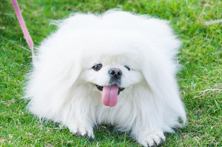 playfulness: Puppy Pekingese breed, white dog , loveliness ,playfulness In the garden Stock Photo