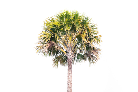 Asian Palmyra palm tree,Toddy palm, Sugar palm, or Cambodian palm, tropical tree in the northeast of Thailand , on white background