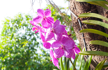 Beautiful orchid flowers Violet Hybrid Vanda are blooming in the garden Stock Photo