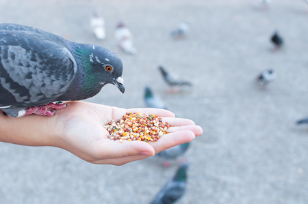 Pigeon eating from woman hand on the park,feeding pigeons in the park at the day time Фото со стока