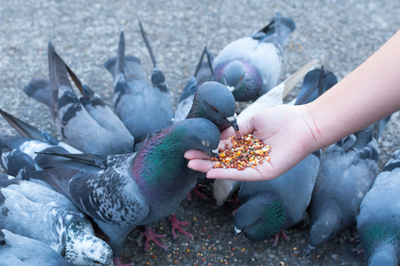 Pigeon eating from woman hand on the park,feeding pigeons in the park at the day time Stock Photo