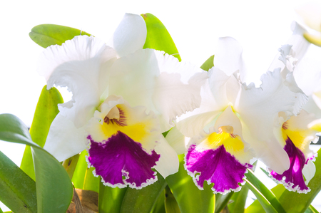 cattleya: White and purple cattleya orchid flower for background