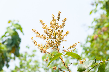 longan flowers in garden with Background soft blue sky Stock Photo