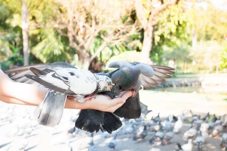 Pigeon eating from woman hand on the park,feeding pigeons in the park at the day time,Feed the birds