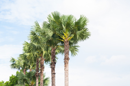 the firmament: sugar palm trees on blue sky background