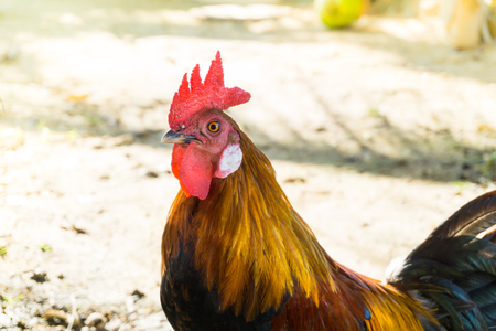 Beautiful Rooster (cock) on nature background, farm animals