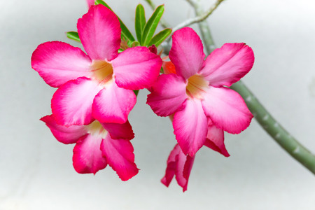 Bella azalea obesum fiore rosa in giardino Archivio Fotografico - 87647403