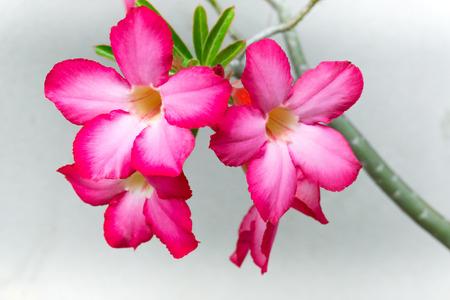 Mooie azalea obesum roze bloem in de tuin