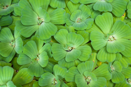 water lettuce used wastewater treatment background,Background with leaves of green water fern, mosquito fern close up floating in a garden pond